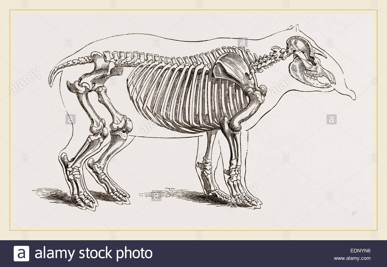 skeleton-of-american-tapir-EDNYN6.jpg