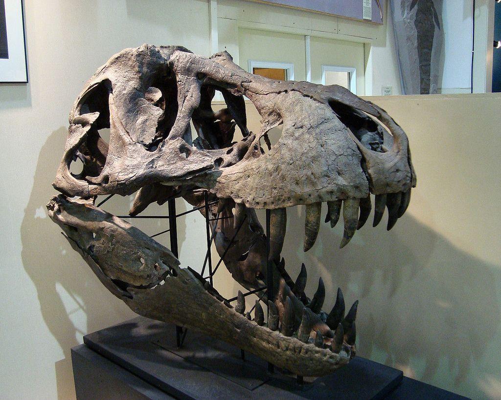 trex-dinosaur-skull-fossil-museum.jpg