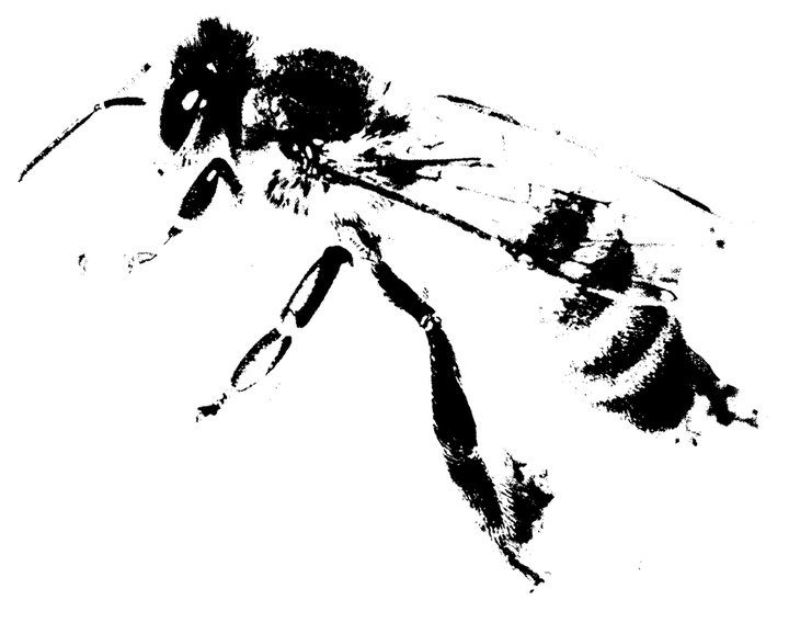 Picture of a honey bee